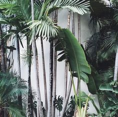 Monstera Delisiosa, Strelitza Nicholai, Chamaedorea or Areca palm, Date palm Green Plants, Tropical Plants, Tropical Gardens, Tropical Vibes, Nature Green, Moringa, Plants Are Friends, Plant Pictures, Garden Inspiration