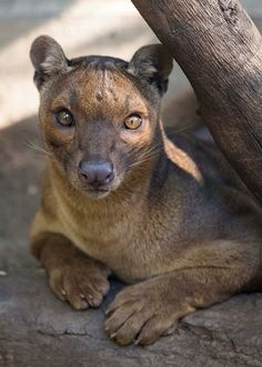 (4) Tumblr Most Beautiful Animals, Unusual Animals, Beautiful Creatures, Madagascar, Animals And Pets, Cute Animals, Funny Cats And Dogs, Mundo Animal, Wild Dogs
