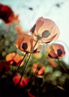 Translucent Poppies