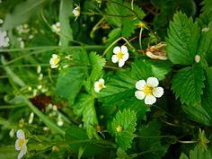 Strawberry mansikka Strawberry, Nature, Plants, Naturaleza, Strawberry Fruit, Plant, Nature Illustration, Off Grid, Strawberries