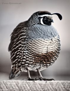 Quail - we have a whole quail family that lives right by us - the mama & papa bird always train their fledglings to fly off our back hedge every year :)