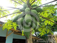 Papaya tree and bunch of fruit on it