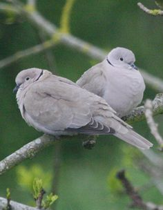 Collared Dove (Derek Lawlor) - The dove is also representative of feminine energies, peace, maternity and prophecy.