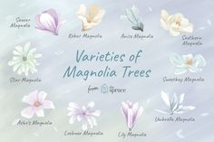 - Try Some Magnolia Trees and Shrubs for Gorgeous White Flowers Like Gorgeous White Flowers? Try Some Magnolia Trees and Shrubs