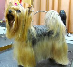 Everything About The Yorkshire Terrier Puppy Grooming Yorkies, Biewer Yorkie, Yorkie Puppy, Toy Yorkshire Terrier, Yorkshire Terrier Haircut, Yorshire Terrier, Silky Terrier, Yorkie Cuts, Yorkie Hairstyles
