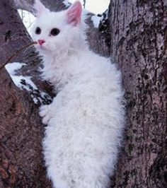 A cat with curly hair! I want a LaPerm.