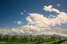 Stock Photo : California prune orchard in bloom under a big clouded blue sky Fair Oaks, Royalty Free Images, Bloom, California, Clouds, Sky, Stock Photos, Photography, Outdoor