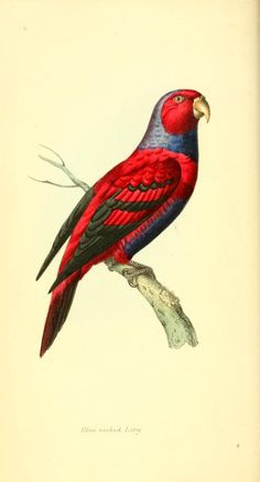 1 - Zoological illustrations, or, Original figures and descriptions of new… Vintage Bird Illustration, Botanical Illustration, Illustration Art, Animal Illustrations, Illustrations Posters, Nature Prints, Bird Prints, Audubon Prints, Interesting Animals