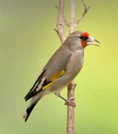 Himalayan goldfinch