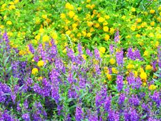 A #field of #purple and #yellow #flowers is really just a #courtyard #garden at an apartment complex in the city. #Raleigh #serene #colorful #flowerphotography #changeyourperspective #lookaround