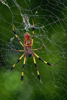 ✯ Male and Female Black and Yellow Spiders. Where is the male?.. By Pedro Lastra ✯