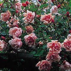 Albertine - David Austin Roses