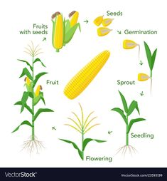 Maize plant growth infographic elements from seeds to fruits, mature corn ears. Corn life cycle in flat design Corn Plant, Ears Of Corn, Home Vegetable Garden, Planting Vegetables, Plant Illustration, Plant Growth, Edible Garden, Veggies, Gardens