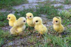 Стайка цыплят на выгуле 🐥🐣🐥Малыши сделаны на заказ. #цыпленок #цыплята #птенец #сувенирручнойработы #сухоеваляние #валяниешерсти #валянаяинтерьернаяигрушка #валянаяигрушка #animals #pets