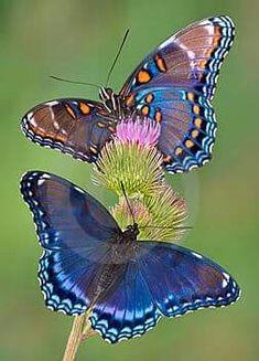 Las #Mariposas en una #Flor es una explosión del Color en el #MedioAmbiente     #FaunaSilvestre #Wildlife