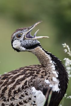 O Sole mio--Black-bellied bustard