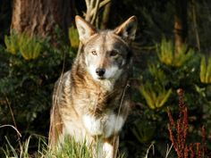 Red wolves are in imminent danger of extinction because the Fish and Wildlife Service has halted crucial repopulation efforts. Urge the Service not to give up on saving the world's last red wolves, and tell it to take action to protect these beautiful and extremely rare animals.
