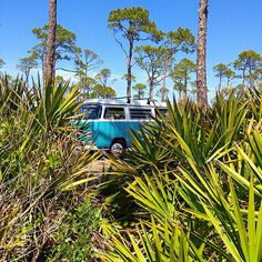 Liked on InstaGram: The elusive Babe the #baywindow 😁 Still out living the dream!! #vwroadtrip #capesanblas #palmtrees #florida #drivethem #volkswagen #aircooled #westfalia #vwcamper #milesandsmiles #livingthedream