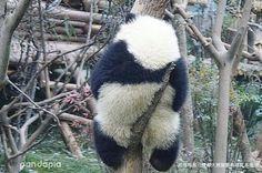 いいね!1,559件、コメント26件 ― @qinqin.yyqのInstagramアカウント: 「#熊猫##熊猫#panda#panda#الباندا#панда#팬더#パンダ#หมีแพนด้า#Πάντα#猫熊#pandacute#pandapandapanda#pandalife#pandlove#pandabear#pandafunny#pandas#中国熊猫#Chinesepanda…」