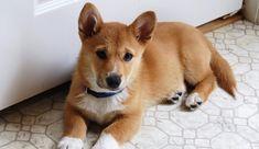 Ever wondered what you'd get if you crossed a Corgi with a Chihuahua? Check our compilation of Corgi crossbreeds to see more of these pawsome doggies. Shiba Inu Corgi Mix, Corgi Mix Puppies, Puppies Near Me, Shiba Puppy, Dogs And Puppies, Corgi Cross Breeds, Corgi Mix Breeds, Dog Breeds, Mezcla Corgi