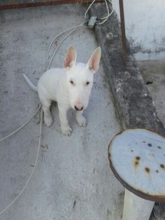 #bullterrier All white Igor ♥