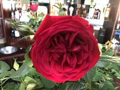 Most exquisite red rose