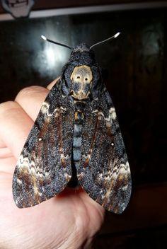 Death's Head Moth....Ewwwww