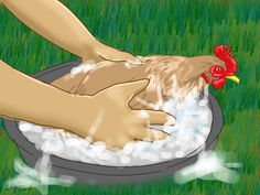How to Take Care of Chickens -- via wikiHow.com