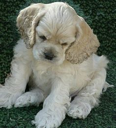 This is what my sweet Lucky looked like as a puppy, I miss her dearly! American Cocker Spaniel, Cocker Spaniel Puppies, Spaniel Breeds, Dog Breeds, Animals Beautiful, Cute Animals, Baby Animals, Cute Puppies, Dogs And Puppies