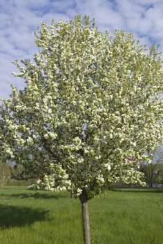 The Spring Snow Crabapple is a fruitless variety of Crabapple that explodes with stunning fragrant double white flowers along its branches. The Spring Snow Crabapple tree is a great purchase from Nature Hills. Spring Snow Crabapple, Flowering Cherry Tree, Garden Trees, Trees To Plant, Fast Growing Trees, Cottage Garden Design, Buy Plants, Shade Trees