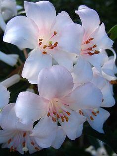 Beautiful Rhododendron Flowers - they look like small lilies don't they?