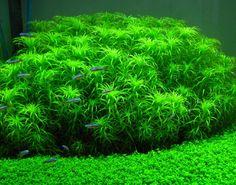 "Syngonanthus sp. ""Belem"", Star Plant"