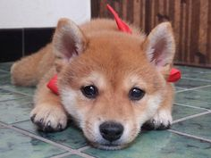 Fantastic pretty dogs tips are offered on our web pages. Read more and you will not be sorry you did. Baby Animals, Funny Animals, Cute Animals, Cute Dogs Breeds, Dog Breeds, Pet Dogs, Dog Cat, Pets, Cute Puppies
