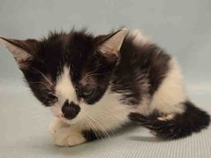 HORTENSIA - A1085840 - - Manhattan  ***TO BE DESTROYED 08/21/16***DELICIOUS BLACK AND WHITE CUTIE NEEDS YOU–BE HORTENSIA'S HERO! Hortensia is a two month old sweet but sad kitten who came in with her littermates, LUCILLA – A1085839 and DOMITIAN – A1085838. They are equally adorable, mushy and sweet. Kittens were being treated for conjunctivitis and URI. Hortensia needs a foster-adopter ASAP. (Her mates are not yet listed). Please reserve this preciou