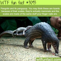 WTF Facts : funny, interesting & weird facts — Pangolin and its pangopup - WTF fun facts Baby Animals, Funny Animals, Cute Animals, Wtf Fun Facts, Funny Facts, Random Facts, Strange Facts, Funny Quotes, Tier Fotos
