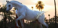Arabian Horses, Weekech.com