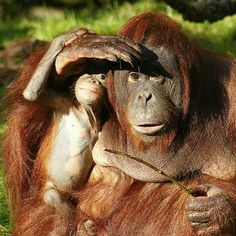 Mother Orangutan and Her Baby.  Mama is shading the baby's eyes, as well as her own eyes, from the sun.