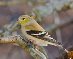 American Goldfinch female.  Visited March 2014