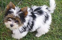 Biewer Yorkshire - I: Small Dogs, Yorkshire Terrier, Dogs Puppies, Puppys, Animal Yorkshire Terriers, Biewer Yorkshire, Puppies And Kitties, Pet Dogs, Buy Puppies, Weiner Dogs, Chihuahua Dogs, Beautiful Dogs, Animals Beautiful