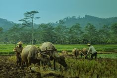 morning harmony - Traditional farmer in Indonesia