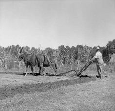 Photo of the Week 2/25/2013 -- Landmark Park, Dothan, Alabama. Farm manager preparing to plow demonstration plot with mules for event at the Park. Not dated. RG 099 Doug Snellgrove Collection.