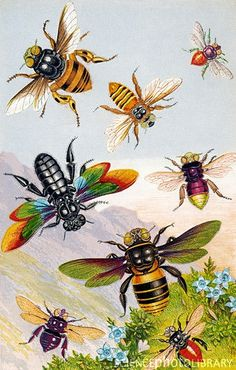 Bees. Historical chromolithograph artwork of exotic bees. Clockwise from upper left are: Centris flavopicta, Oxaea flavescens, Euglossa analis, E. pulchra, Xylocopa nobilis, E. brullei, E. violacea and X. iridipennis. These bees are found in tropical regions, such as Brazil and India. Published in Gems of Nature and Art by R. Fawcett, in London, circa 1880.