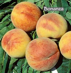 The Bonanza Dwarf Peach tree is a popular freestone variety producing large fruit that is sweet, low in acid with a mild, refreshing flavor ripening mid to late June.  Consider a dwarf peach tree in a large planter bed for form, foliage and flowers, as it only grows to about 5 feet tall if not clipped.  The Bonanza peach is a great choice for containers on a balcony or terrace garden, especially for those in mild winter climates, needing only about 250 chilling hours to fruit well.  This…