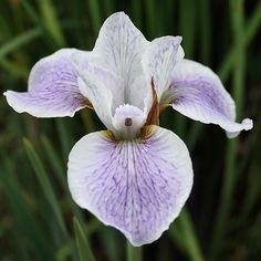 Siberian Iris 'Lavender Stipples'