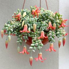 Cacti and succulents that hang or trail include Othonna capensis 'Ruby Necklace', Echinopsis Chamaecereus 'Peanut Cactus', Hildewintera Colademononis. Hanging Succulents, Hanging Flowers, Cacti And Succulents, Hanging Plants, Indoor Plants, Flowering Succulents, Blooming Succulents, Potted Plants, Cactus Plants