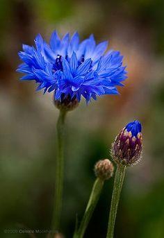 bachelor button blue by Celeste M, via Flickr