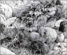 Carl Brenders - One to One - Gray Wolf Study