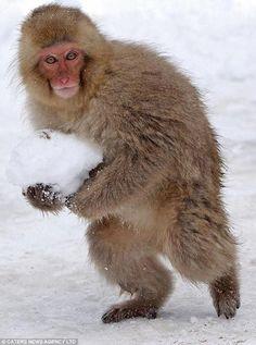 snow monkey Japane