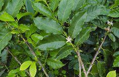СФТ: Блог о зеленом кофе и не только