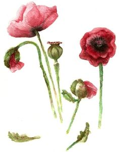 Red Poppies - Botanical Art - watercolor Art Print